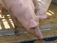 Versteckte Kameras: Neuer Angriff von Tierrechtlern auf Familienbetriebe