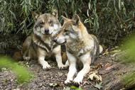 Umweltminister finden keine Einigung zum Wolf