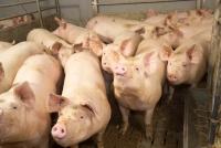 Kreisbehörde: Ausbruch der Afrikanischen Schweinepest hätte dramatische Folgen