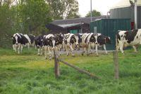 Biomilchpreise bröckeln