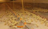 Geflügelverband knüpft Antibiotikareduktion an weitere Zusagen