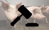 Tierquälerei: Drei Jahre Haft für Schweinehalter