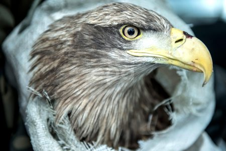 Rescued white-tailed eagle in Poland