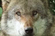 """Salzburg: Entwurf für """"Managementplan Wolf"""" ist fertig"""
