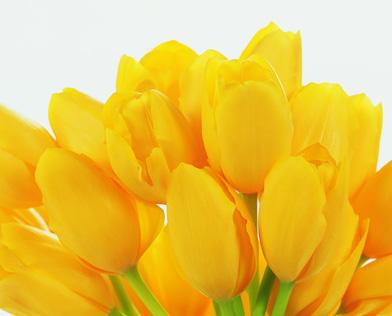 Bunch of Yellow Tulip Flower heads