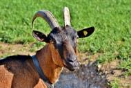 Kaniber schützt mehr gefährdete Ziegenrassen