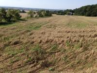 Vorerntebehandlung im Getreide?