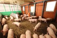 Staatliches Tierwohllabel sieht deutlich mehr Platz vor